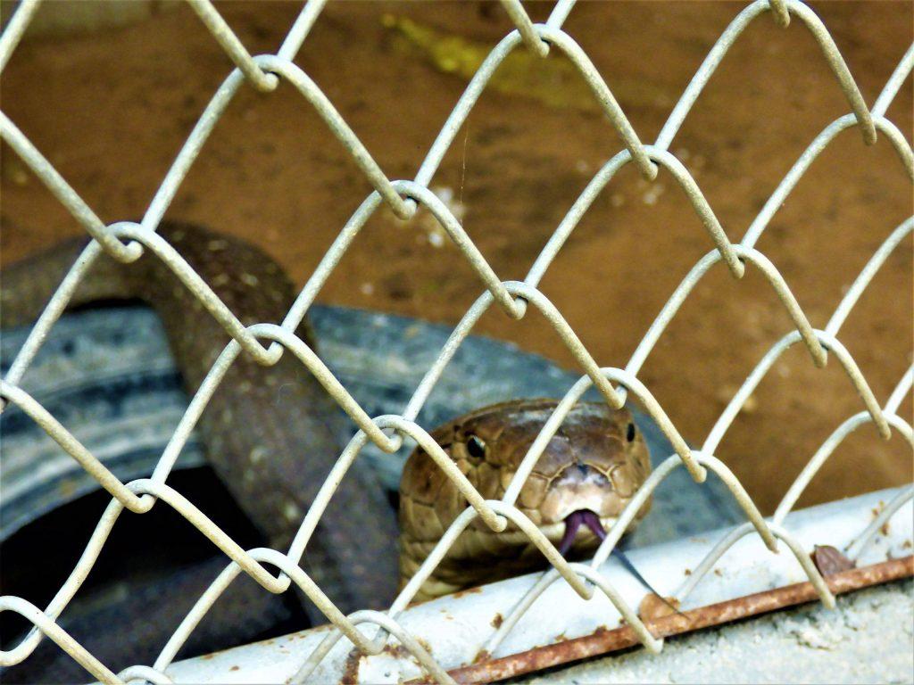 chiang mai snake farm
